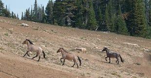 Wild Horse Herd running uphill in the Pryor Mountains Wild Horse Range in Montana Royalty Free Stock Photo