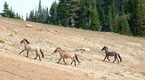 Wild Horse Herd running uphill in the Pryor Mountains Wild Horse Range in Montana - Wyoming Royalty Free Stock Photo