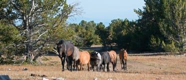 Wild Horse Herd on Tillett Ridge in the Pryor Mountain Wild Horse Range in Montana - Wyoming Stock Image
