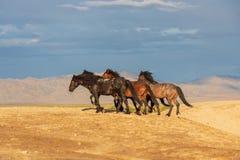 Wild Horse Herd in the Utah Desert. A wild horse herd in the Utah desert Royalty Free Stock Images