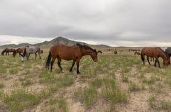 Wild Horse Herd in the Utah Desert. A herd of beautiful wild horses in the Utah desert Royalty Free Stock Photography