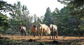 Wild Horse Herd walking on Tillett Ridge in the Pryor Mountain Wild Horse Range in Montana - Wyoming Stock Photos