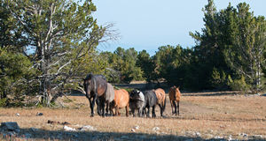 Wild Horse Herd walking together in the Pryor Mountain Wild Horse Range in Montana - Wyoming Royalty Free Stock Photography