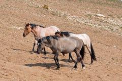 Wild Horse Herd walking uphill in Pryor Mountain Wild Horse Range in Montana Stock Photos