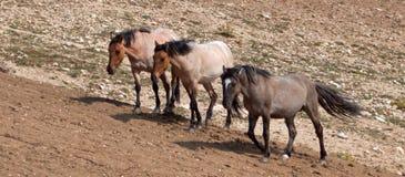 Wild Horse Herd walking uphill in the Pryor Mountain Wild Horse Range in Montana - Wyoming Royalty Free Stock Photography