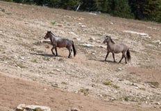Wild Horse Herd walking uphill in Pryor Mountain Wild Horse Range in Montana - Wyoming Royalty Free Stock Photos