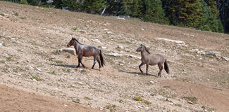Wild Horse Herd walking uphill in the Pryor Mountains in Montana Royalty Free Stock Photo
