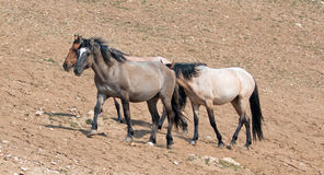 Wild Horse Herd walking uphill in the Pryor Mountains in Montana Royalty Free Stock Photos