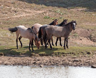 Wild Horse Herd at watering hole in the Pryor Mountain Wild Horse Range in Montana Royalty Free Stock Photos