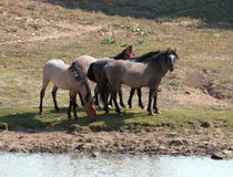 Wild Horse Herd at watering hole in the Pryor Mountain Wild Horse Range in Montana - Wyoming Stock Photo
