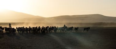 Wild horse herds running in the desrt, kayseri, turkey. Wild horses run around in the desert, but sometimes people gather them, kayseri, turkey royalty free stock images
