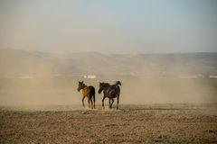 Wild horse herds running, kayseri, turkey. Wild horse herds running in the ground, kayseri, turkey stock photography