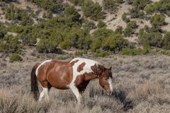 Wild Horse in the High Desert royalty free stock images