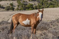 Beautiful Wild Horse in the High Desert stock images