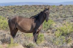 Majestic Wild Horse in the High Desert in Summer stock images