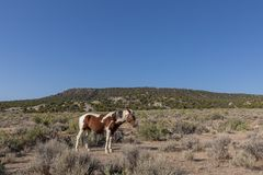 Wild Horse in the High Desert in Summer royalty free stock photography