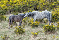 Wild horse. Wild horses grazing in the Park Dartmoor in southern England Stock Image