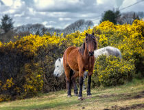 Wild horse. Wild horses grazing in the Park Dartmoor in southern England Stock Photo