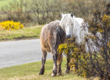 Wild horse. Wild horses grazing in the Park Dartmoor in southern England Royalty Free Stock Photos