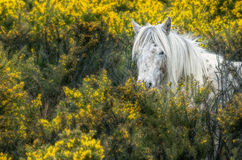 Wild horse. Royalty Free Stock Images