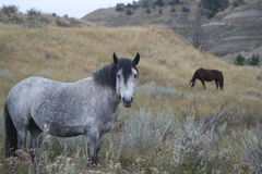 Wild horse horses outside grazing. Stock Images