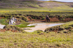 Wild horse - Iceland. Royalty Free Stock Photos