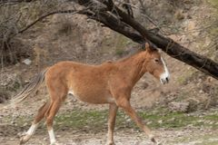 Young Wild Horse in the Desert Royalty Free Stock Images