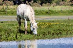 Wild horse, Italy Royalty Free Stock Photos