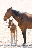 Wild horse with foal Royalty Free Stock Images