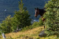 Wild horse looking out from behind a bush in Cerro Alarken Nature Reserve, Ushuaia, Argentina stock image