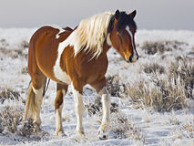 Wild Horse mare winter snow. This Wild Mustang paint pinto is a dominant mare in the desert herd of McCullough Peaks Wyoming