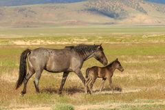 Wild Horse Mare and Cute Foal Stock Image