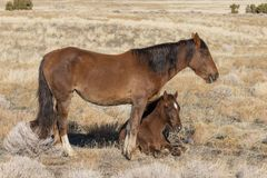 Wild Horse Mare and Cute Foal in Winter. A wild horse mare and her cute foal in winter in the Utah desert royalty free stock image
