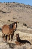Wild Horse Mare and Cute Foal in Winter. A wild horse mare and her cute foal in winter in the Utah desert royalty free stock photo