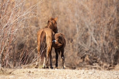 Wild Horse Mare and Foal Stock Photos