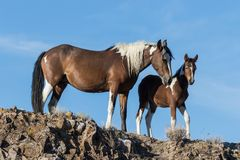 Wild Horse Mare and Foal. A wild horse mare and her cute foal in the Utah desert royalty free stock image