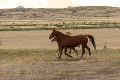 Wild Horse Mare and Foal Running. A wild horse mare and her foal in the Utah desert Royalty Free Stock Photo