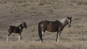 Wild Horse Mare and Foal. A wild horse mare and foal in the Utah desert stock video footage