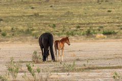 Wild Horse Mare and Foal in the Utah Desert. A wild horse mare and her foal in the Utah desert Stock Image