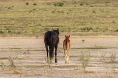 Wild Horse Mare and Foal Walking Away. A wild horse mare and her foal in the Utah desert Royalty Free Stock Photography