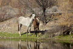 Wild Horse Mare and Her Foal Royalty Free Stock Images