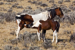 Wild horse mare and colt in Wyoming Royalty Free Stock Photos