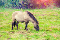 Wild horse Royalty Free Stock Image