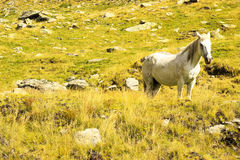 Wild horse. On mountain. Beautiful white horse Royalty Free Stock Photography