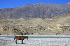 Wild horse on the mountain river bank in Nepal. Stock Images