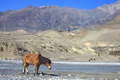 Wild horse on the mountain river bank in Nepal. Royalty Free Stock Photo
