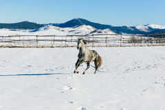 The wild horse in the mountains. The beautiful wild white- grey horse runs in the mountains in Montenegro stock image