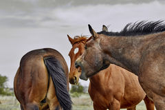 Wild horse with Mouth Open Stock Images