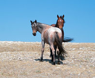Wild Horse Mustang Bay Band Stallion with his Strawberry Red Roan Mare on Sykes Ridge in the Pryor Mountains Wild Horse Range Royalty Free Stock Image