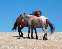 Wild Horse Mustang Bay Band Stallion with his Strawberry Red Roan Mare on Sykes Ridge in the Pryor Mountains Wild Horse Range Stock Images